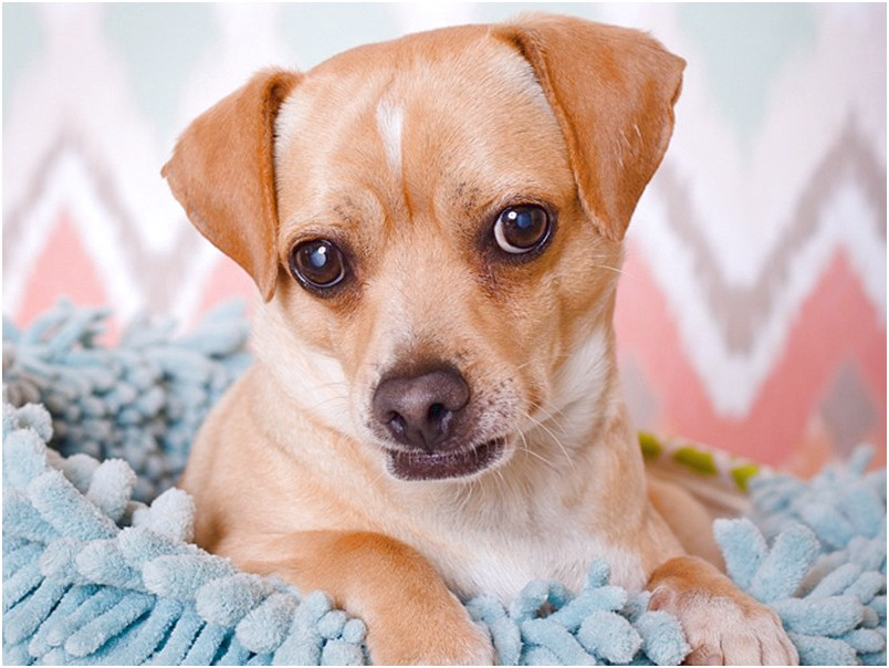 how to train a chihuahua jack russell mix