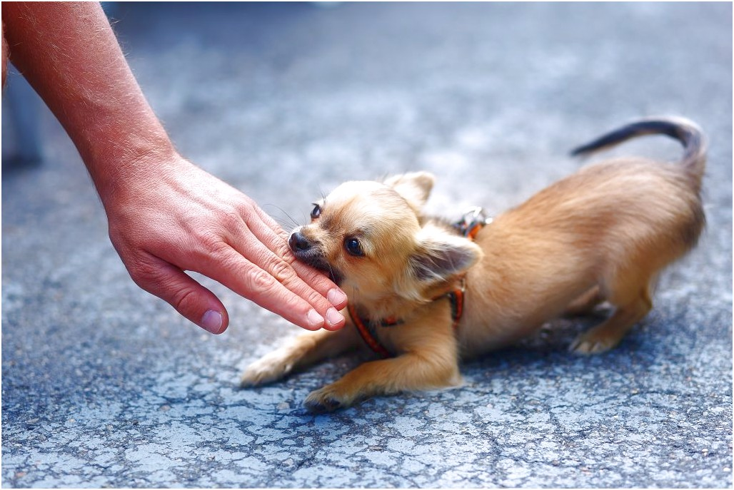 how to train a chihuahua not to bite