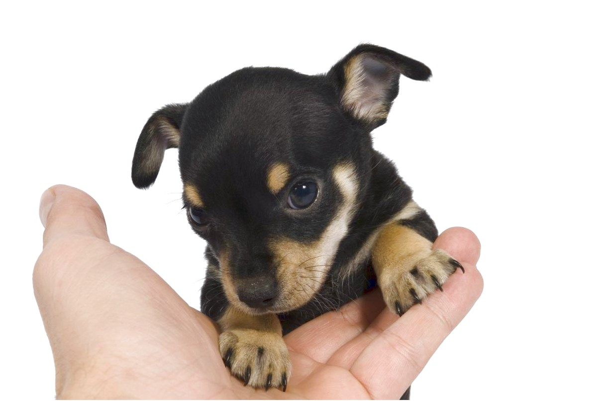 how to train a chihuahua rat terrier mix