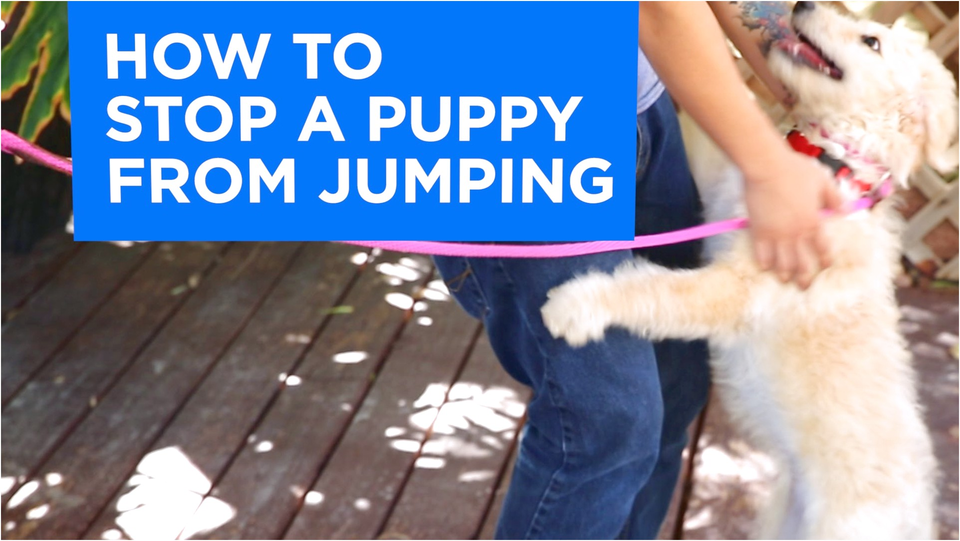 how to train a chihuahua to jump