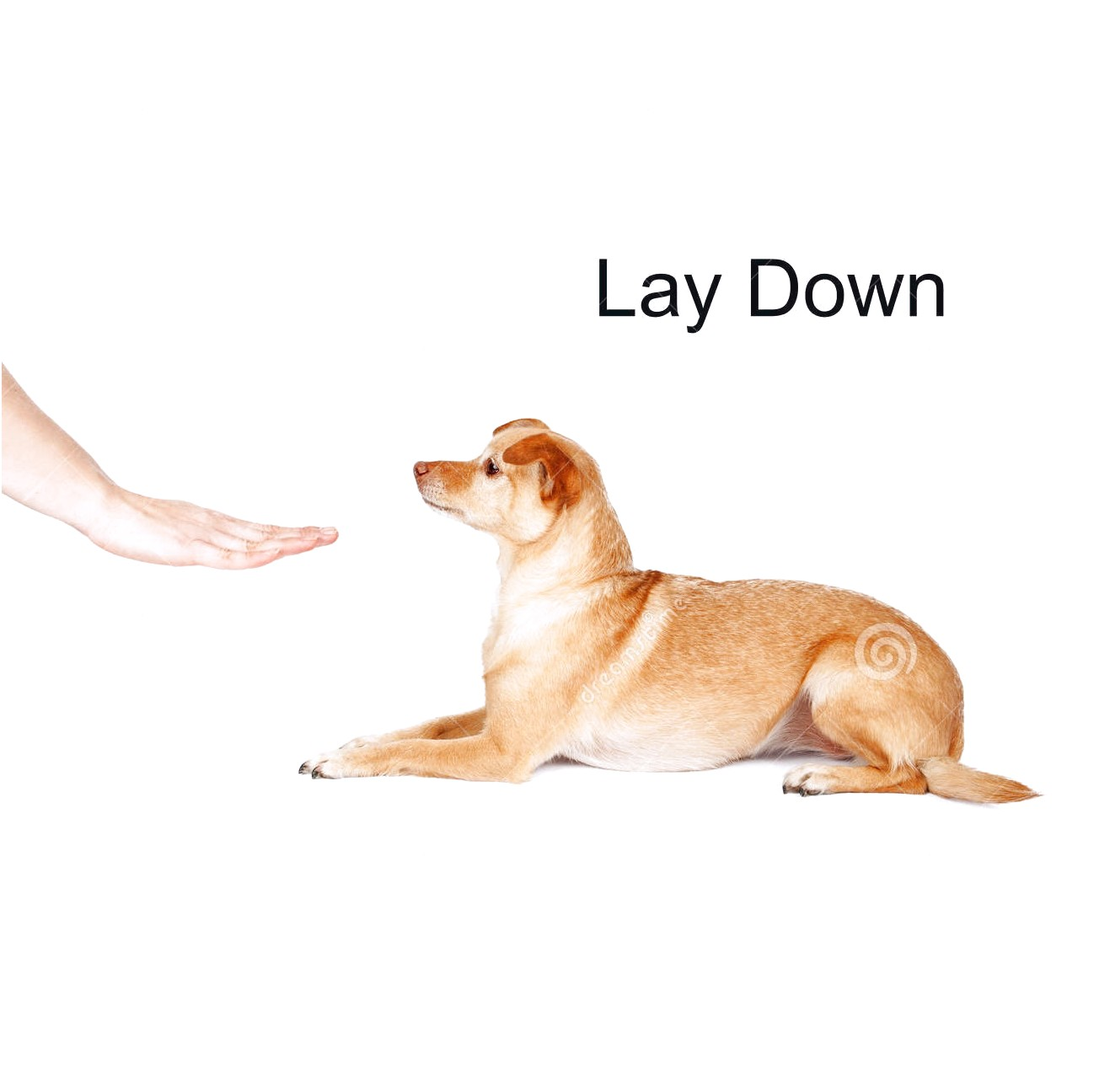 how to train a chihuahua to lay down