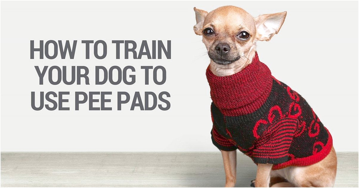 how to train a chihuahua to pee on pad