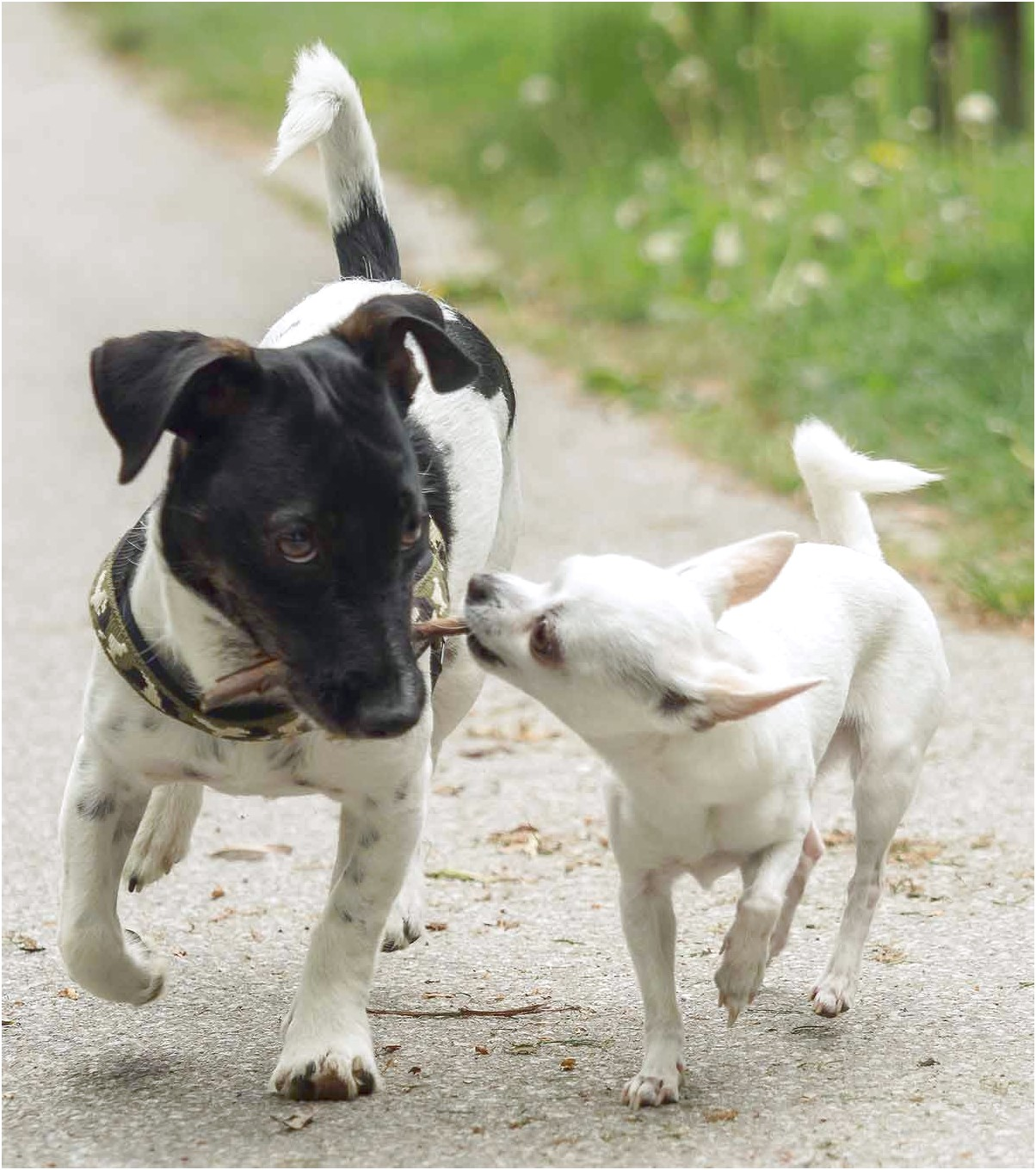 how to train a jack russell cross chihuahua