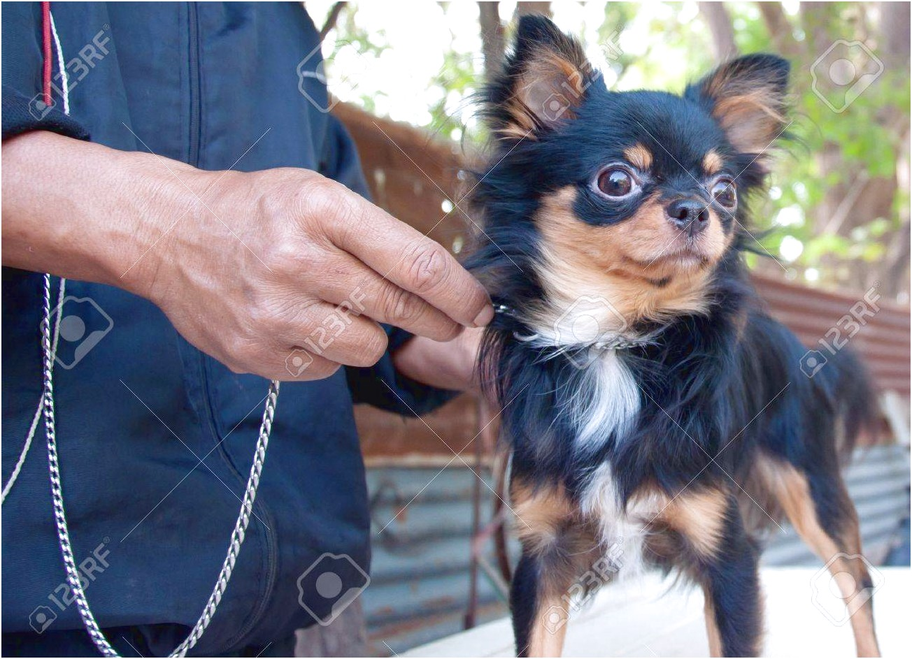 how to train a long haired chihuahua