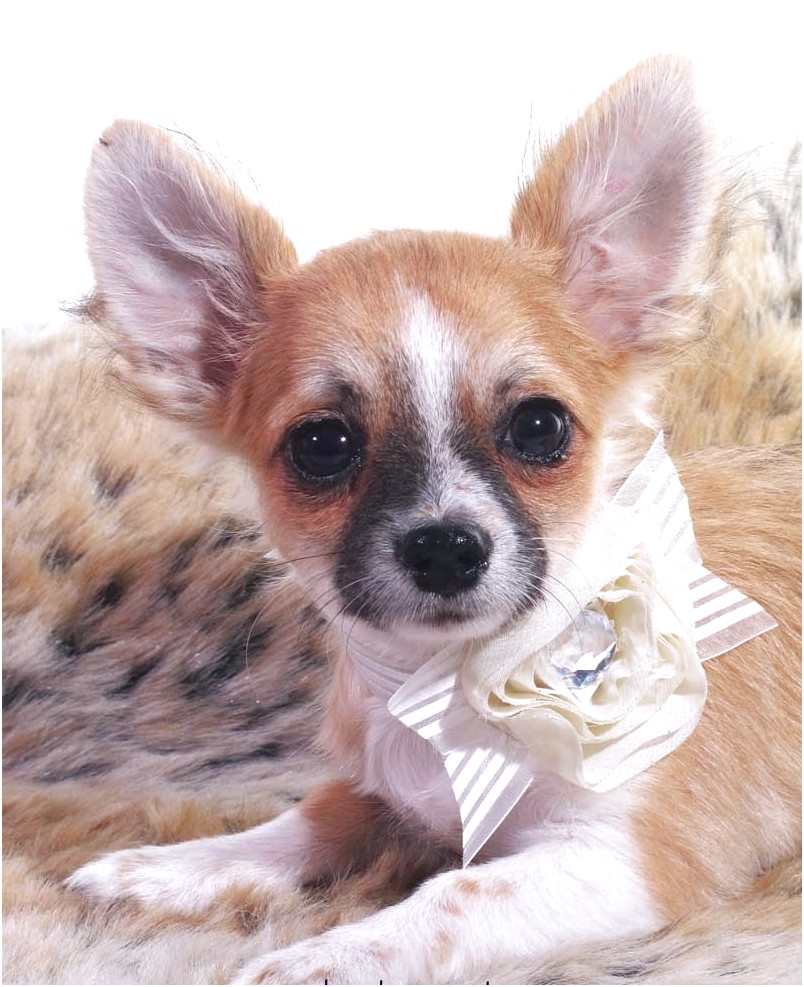how to train a male chihuahua puppy