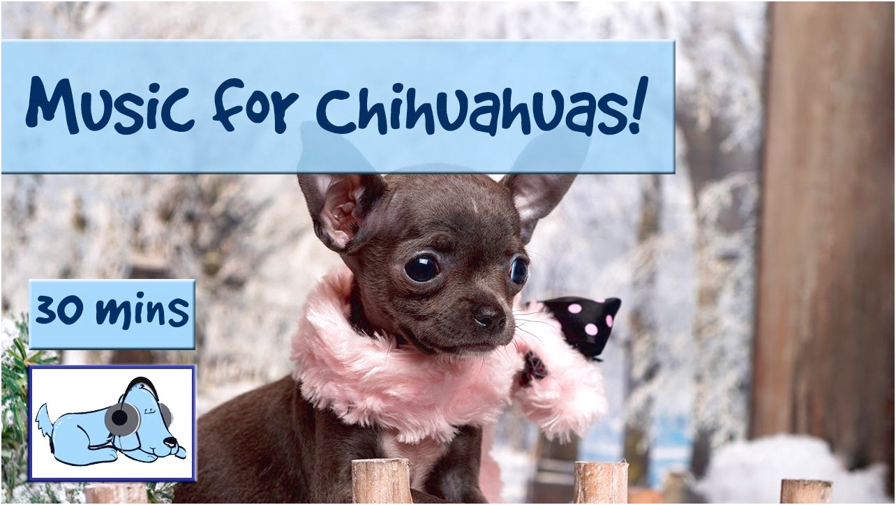 how to train a nervous chihuahua