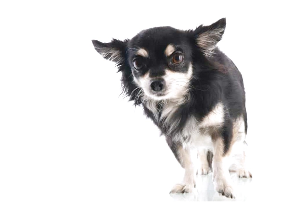 how to train a scared chihuahua