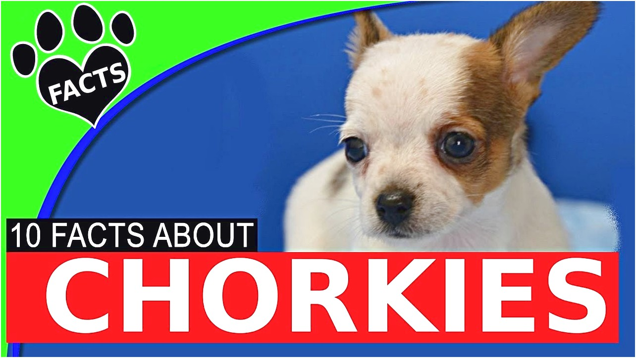 how to train a yorkie chihuahua mix