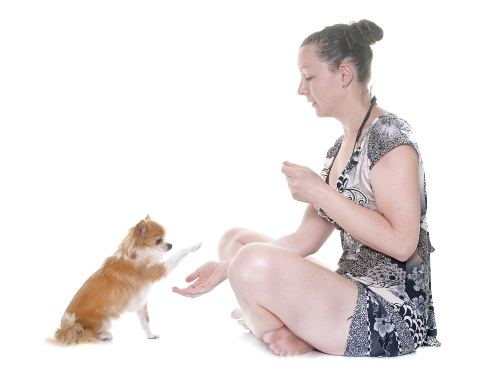 how to train chihuahua to give paw