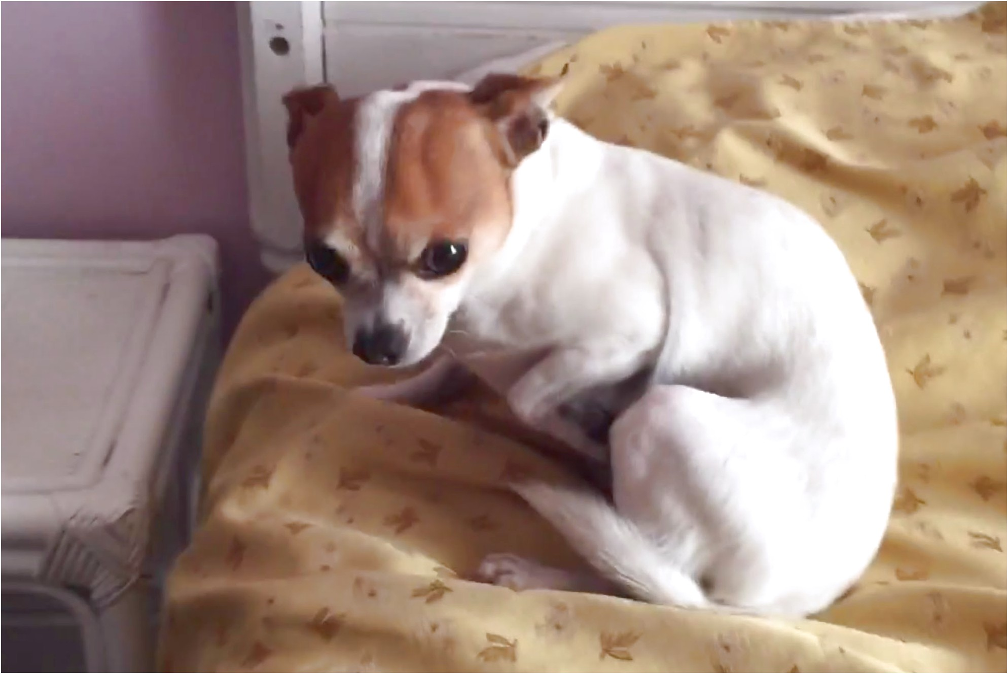how to train chihuahua to sleep in his bed