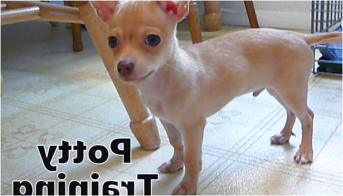 how to train new chihuahua puppy