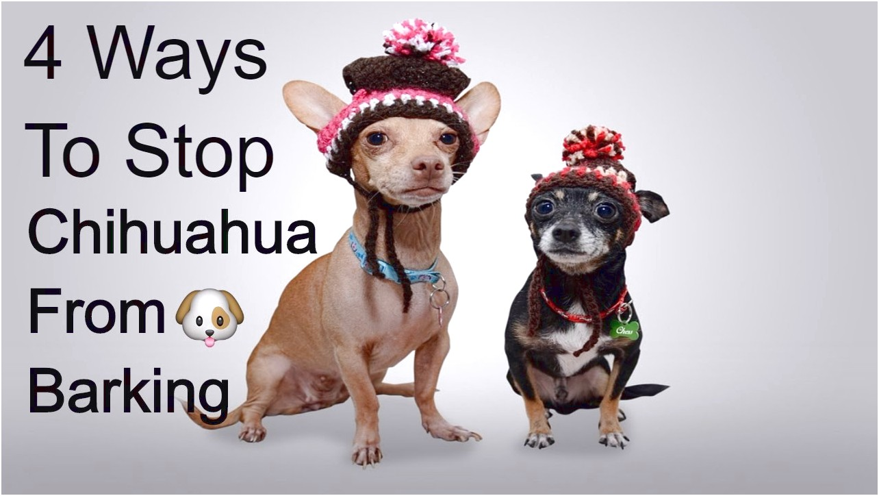 how to train your chihuahua from barking