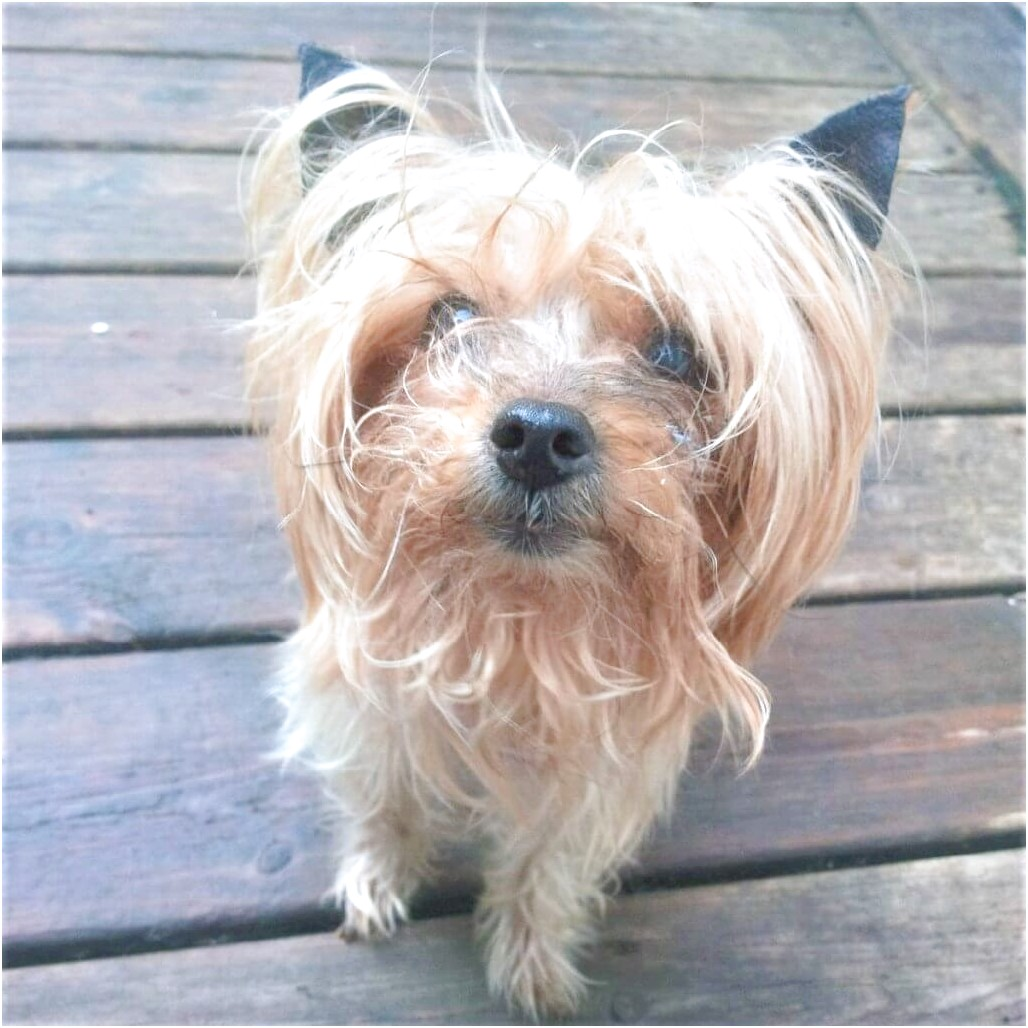 i want to adopt a yorkshire terrier