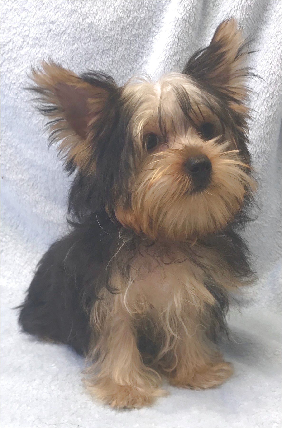 images of yorkshire terrier puppies