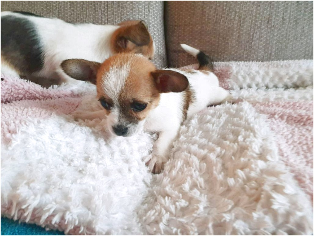 jack russell and chihuahua cross puppies for sale