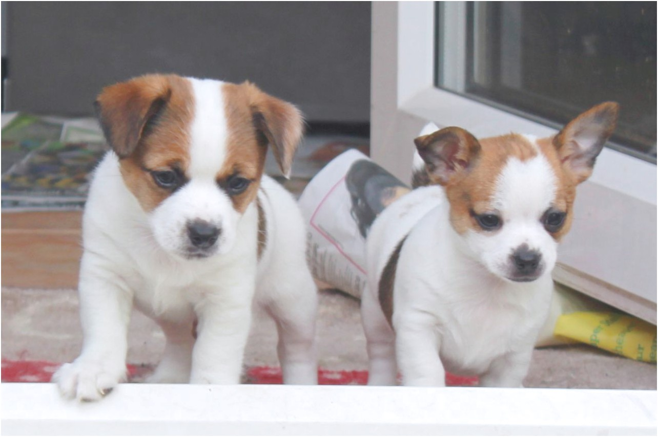 jack russell and chihuahua puppies for sale