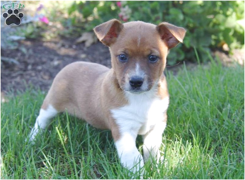 jack russell chihuahua mix puppy for sale