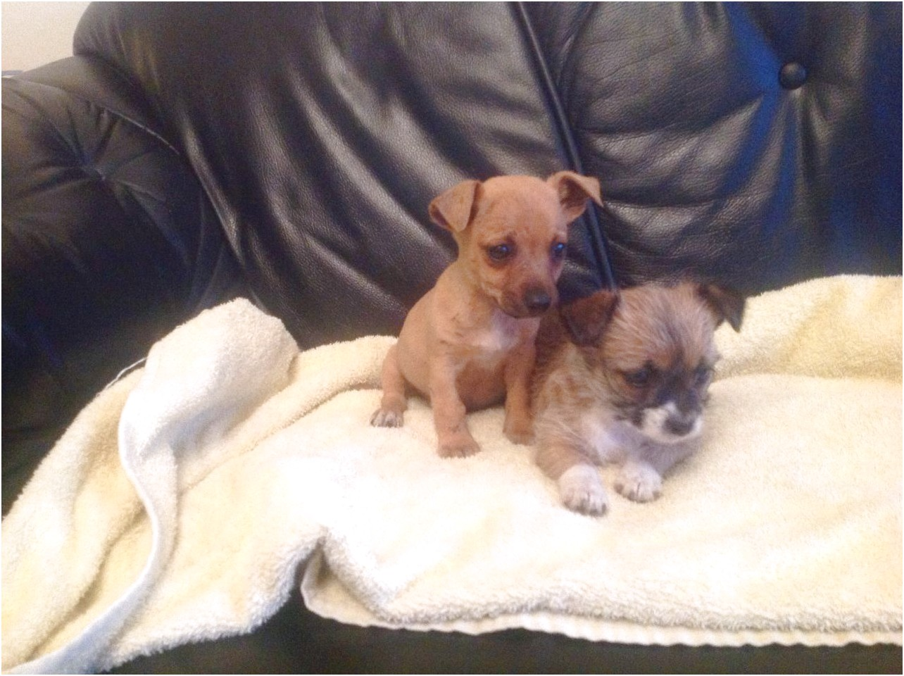 jack russell chihuahua puppies for sale uk