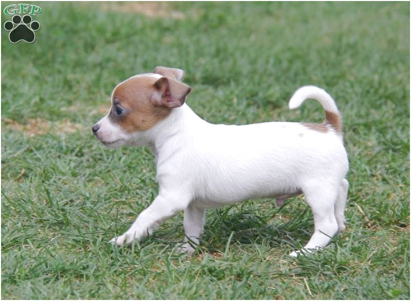 jack russell chihuahua puppy for sale in michigan
