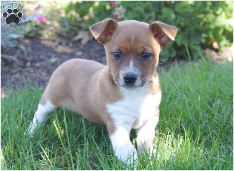 jack russell chihuahua puppy for sale in texas