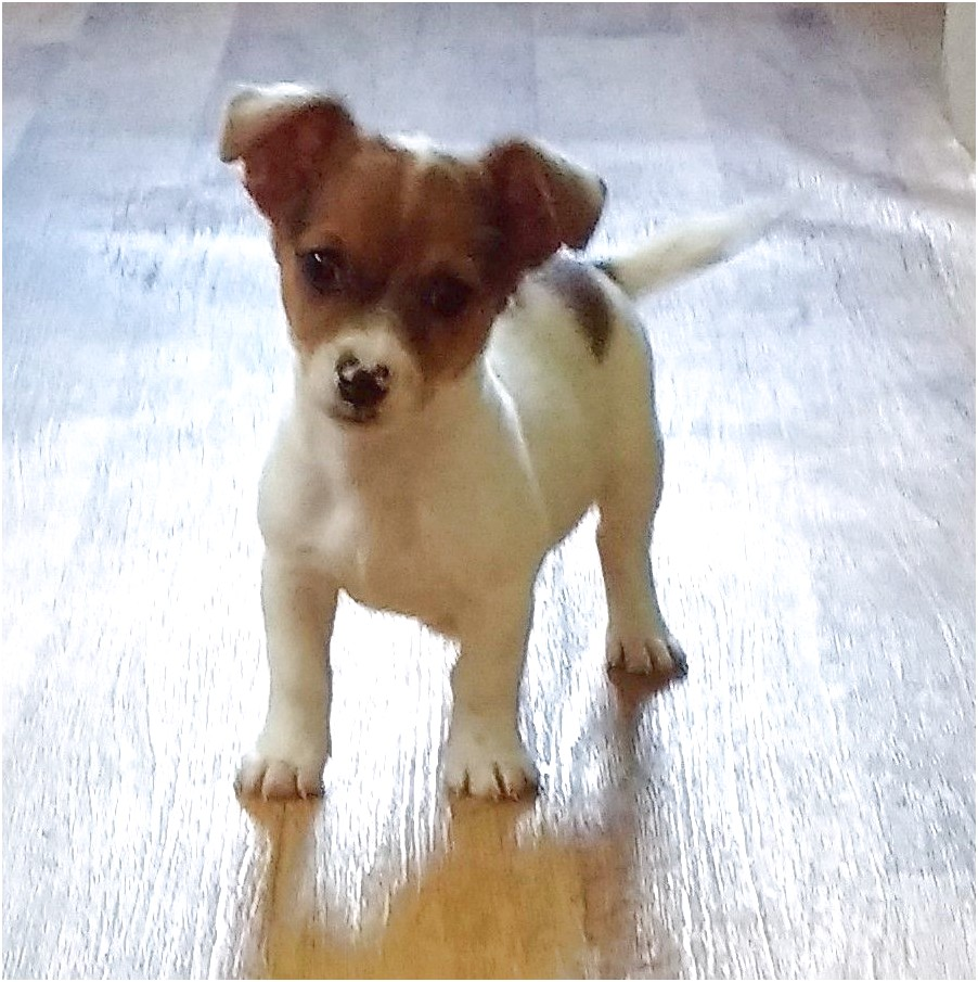 jack russell chiwawa puppy for sale
