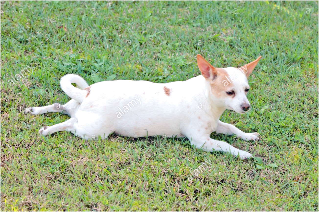 jack russell cross chihuahua puppies for sale uk