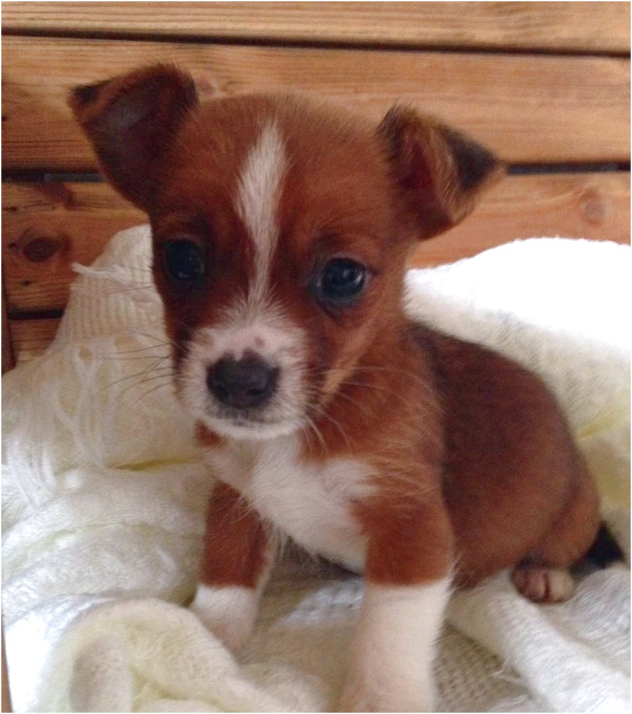 jack russell cross chihuahua puppy for sale