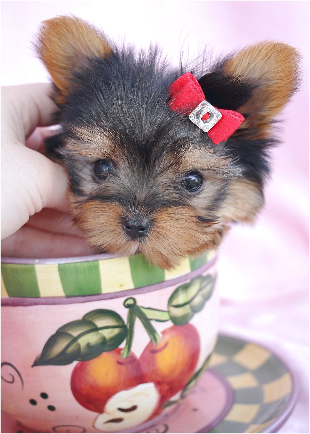 jack russell cross yorkshire terrier pups for sale