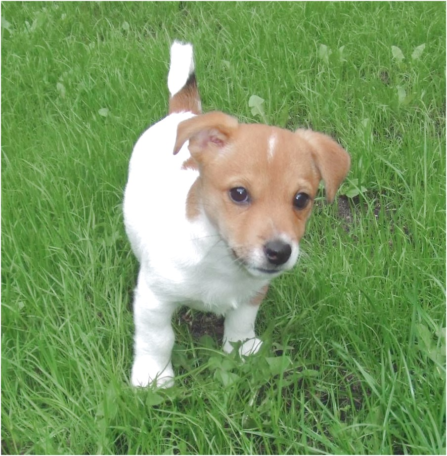 jack russell terrier chihuahua mix puppies for sale