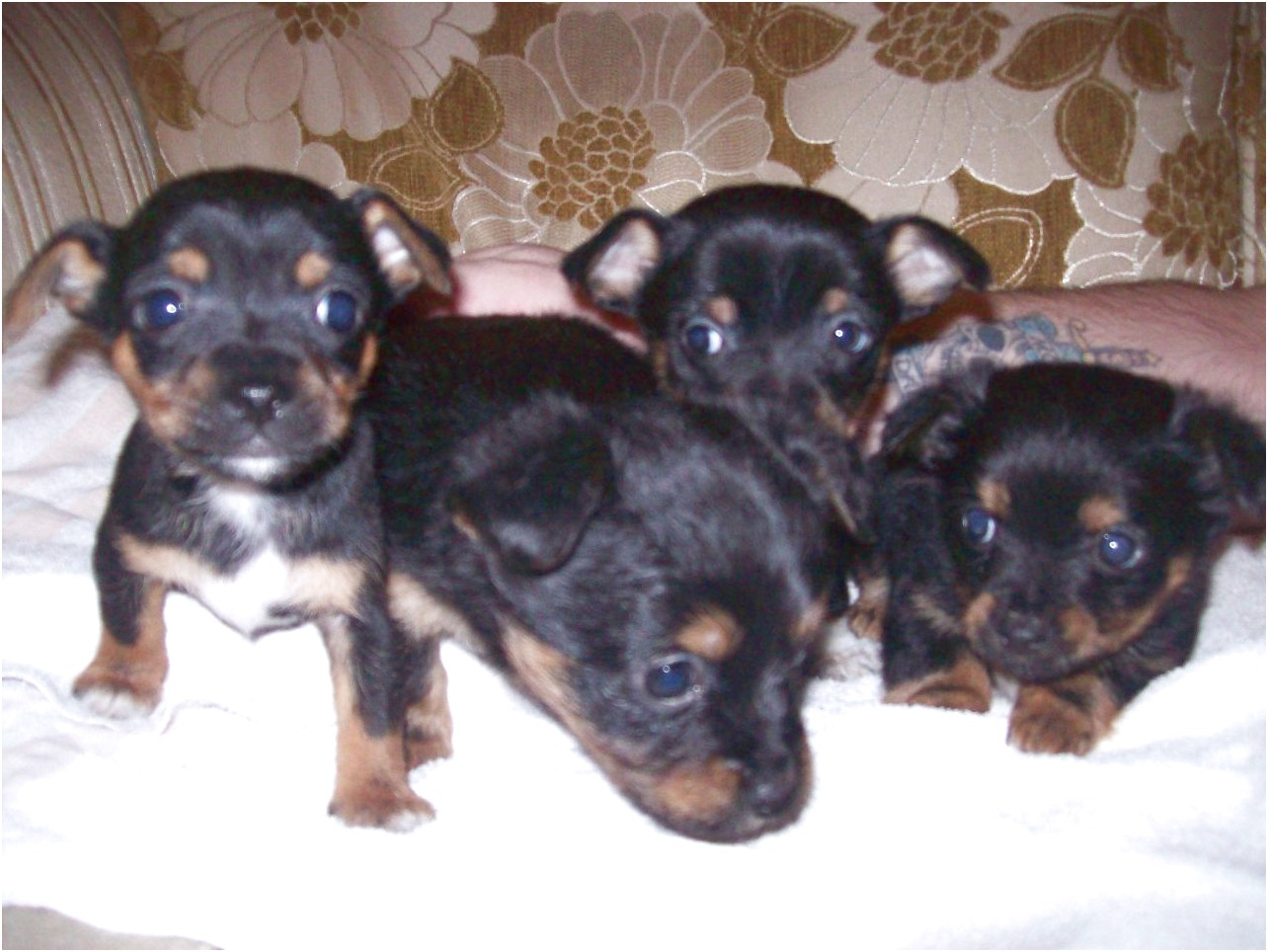 jack russell x chihuahua puppies for sale worcestershire