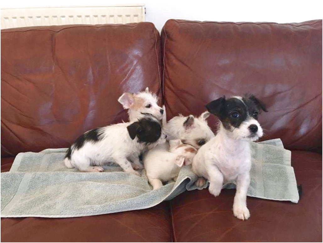 jack russell x yorkshire terrier pups