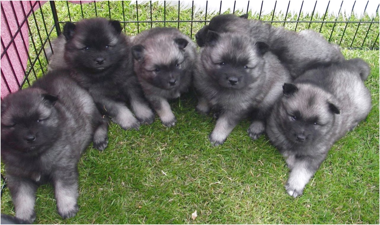 Keeshond Puppies For Sale Near Me