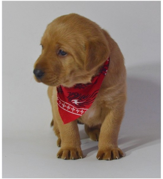 lab puppies for sale in ocala florida