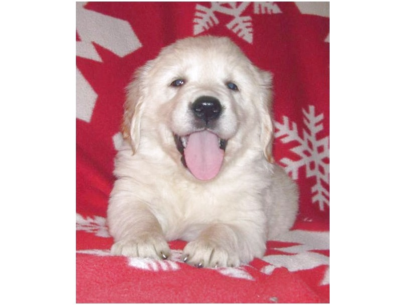 labrador x golden retriever puppies for sale melbourne