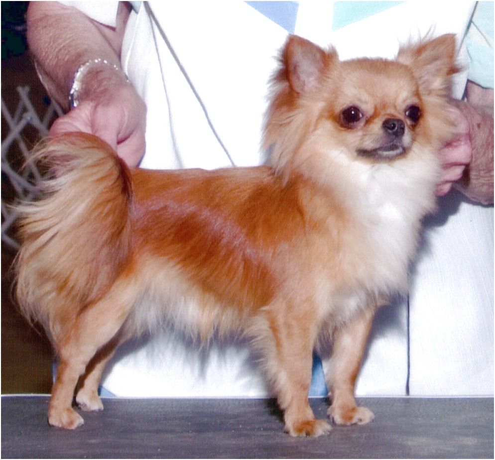 long coat chihuahua breeders california