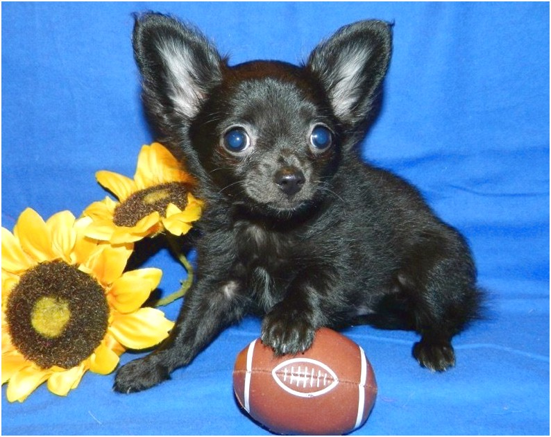 long coat chihuahua puppies for sale australia