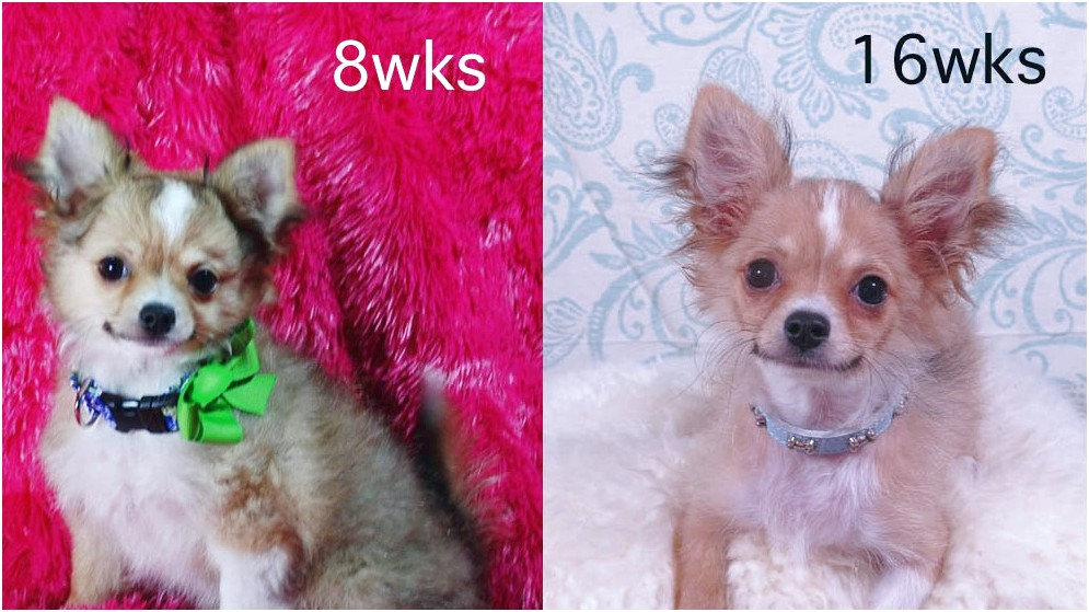 long coat chihuahua puppies for sale in texas