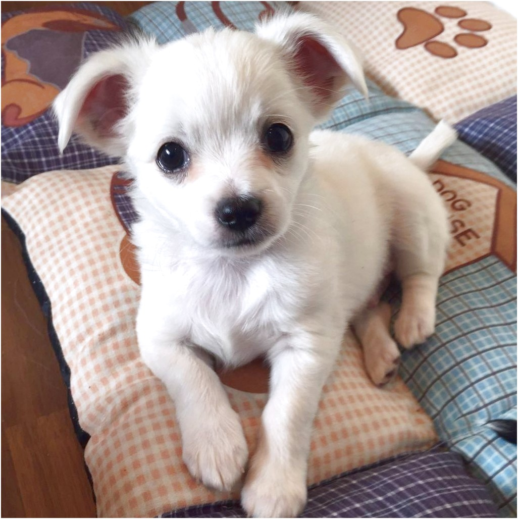 long coat chihuahua puppies for sale uk