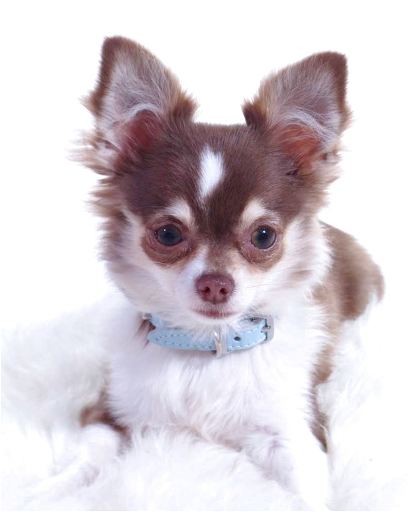 long hair chihuahua for sale in va