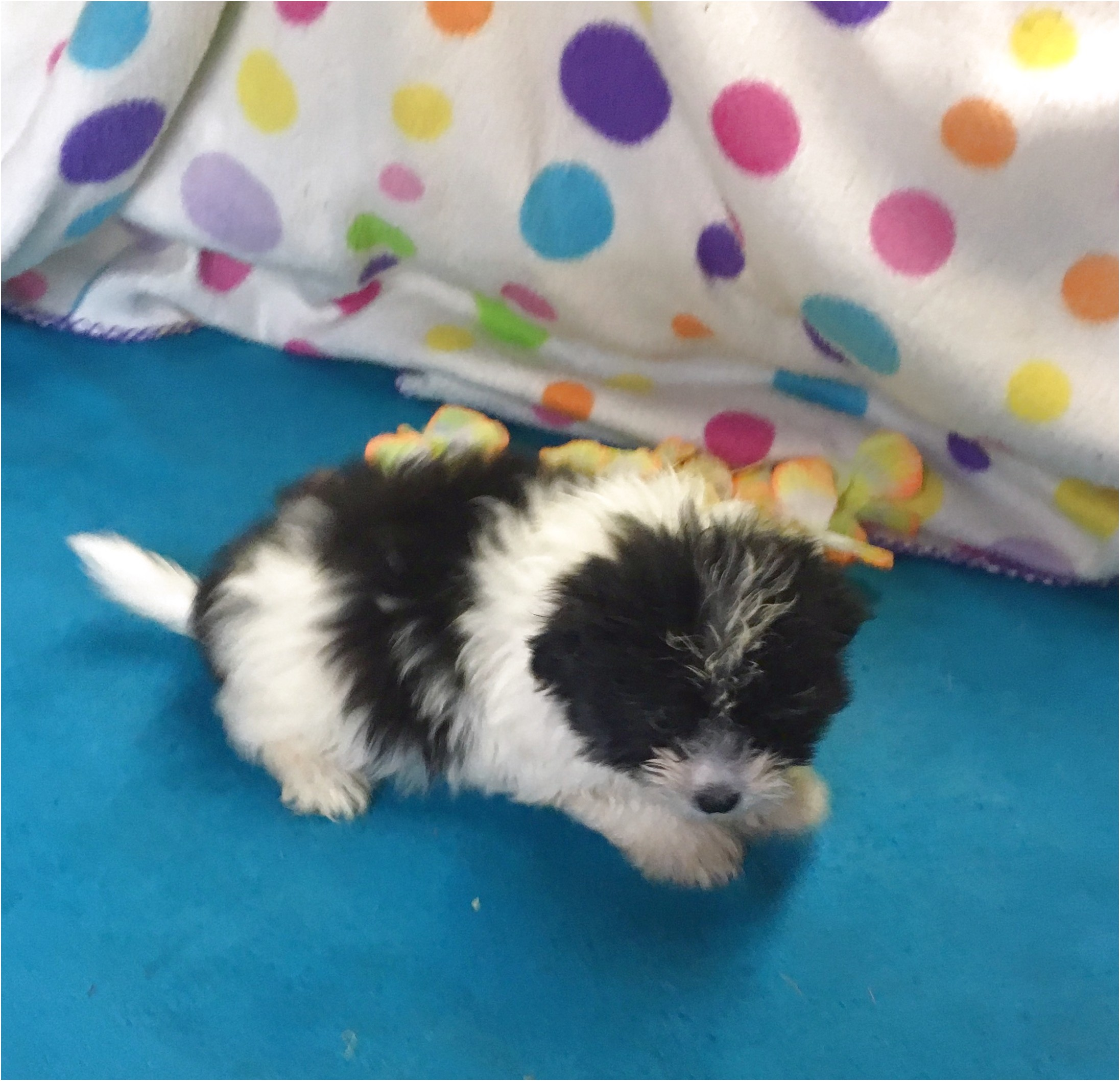 long hair chihuahua puppies for sale in ga