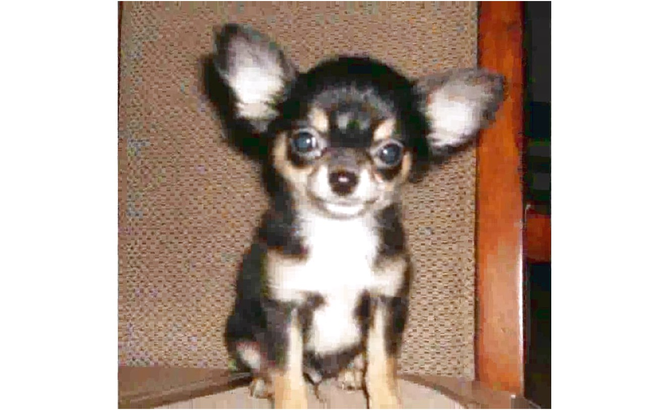 long hair chihuahua puppies for sale in nc