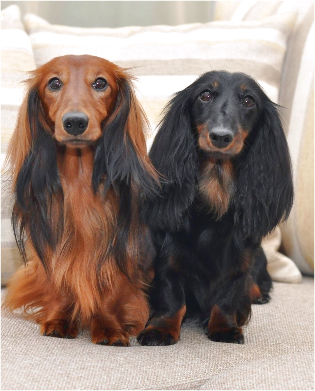 long hair daschund puppies for sale in ohio