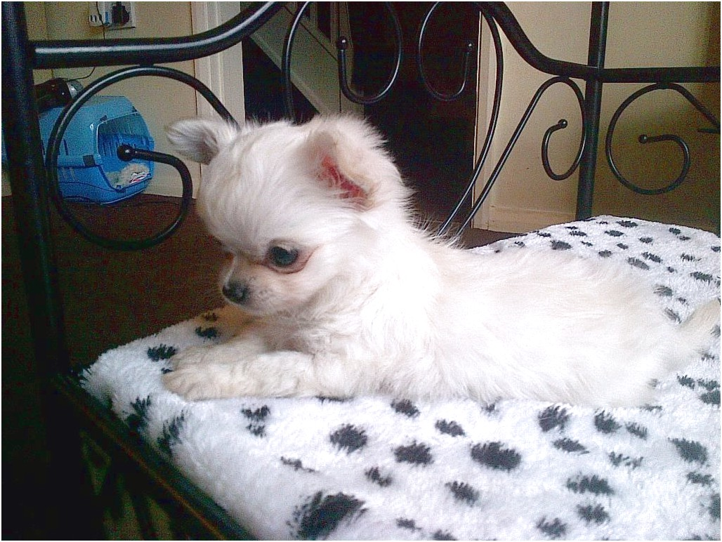 long haired applehead chihuahua puppies for sale