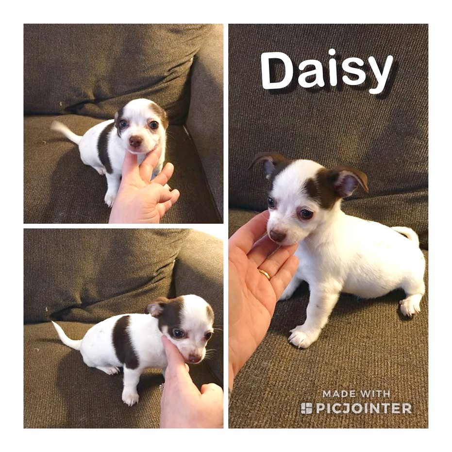 long haired chihuahua puppies for sale in cincinnati ohio