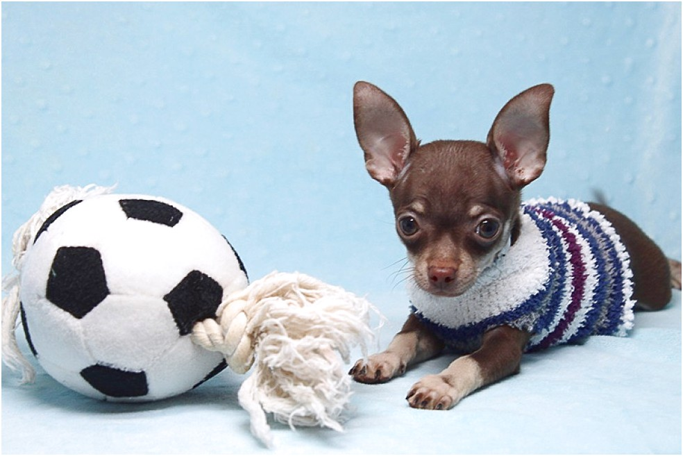long haired chihuahua puppies for sale in greensboro nc