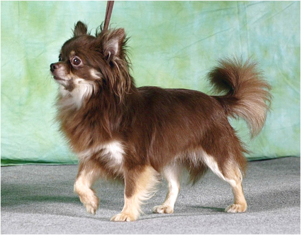 long haired chihuahua puppies for sale in ohio