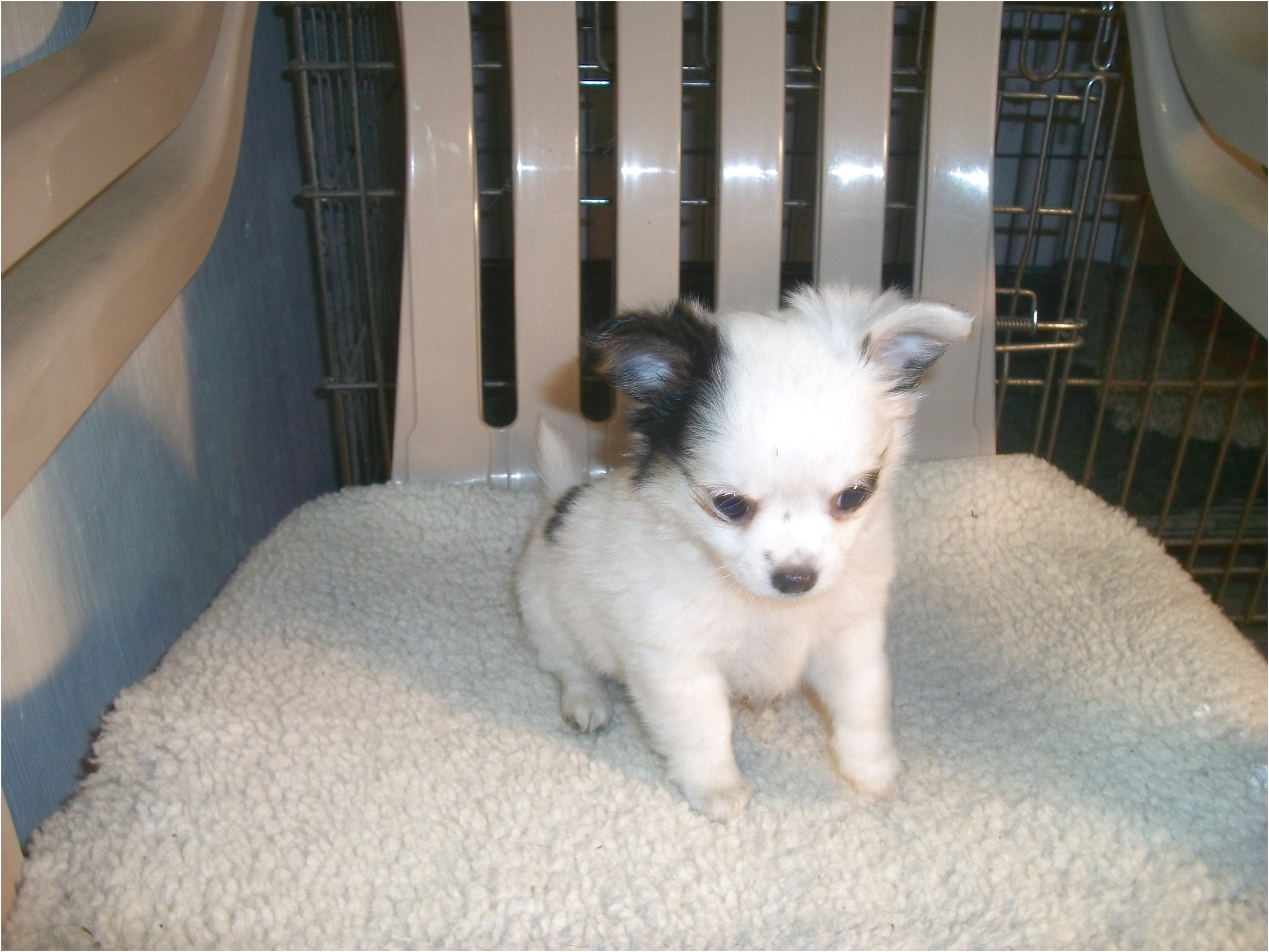 long haired chihuahua puppies for sale in raleigh nc