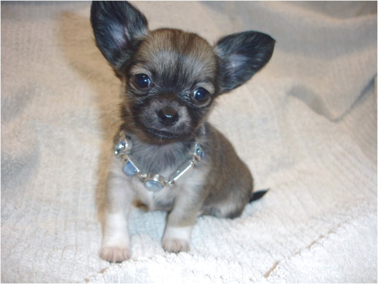 long haired chihuahua puppies for sale near me