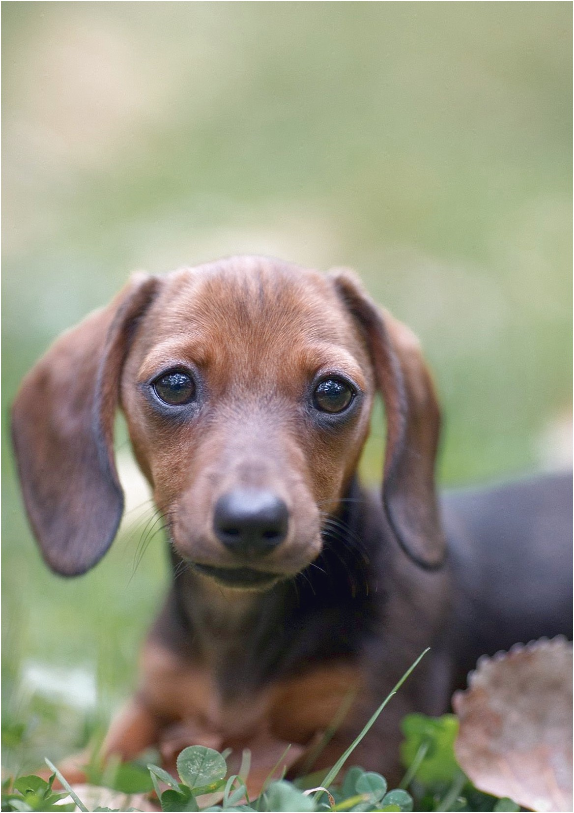 long haired dachshund puppies for sale in pittsburgh pa