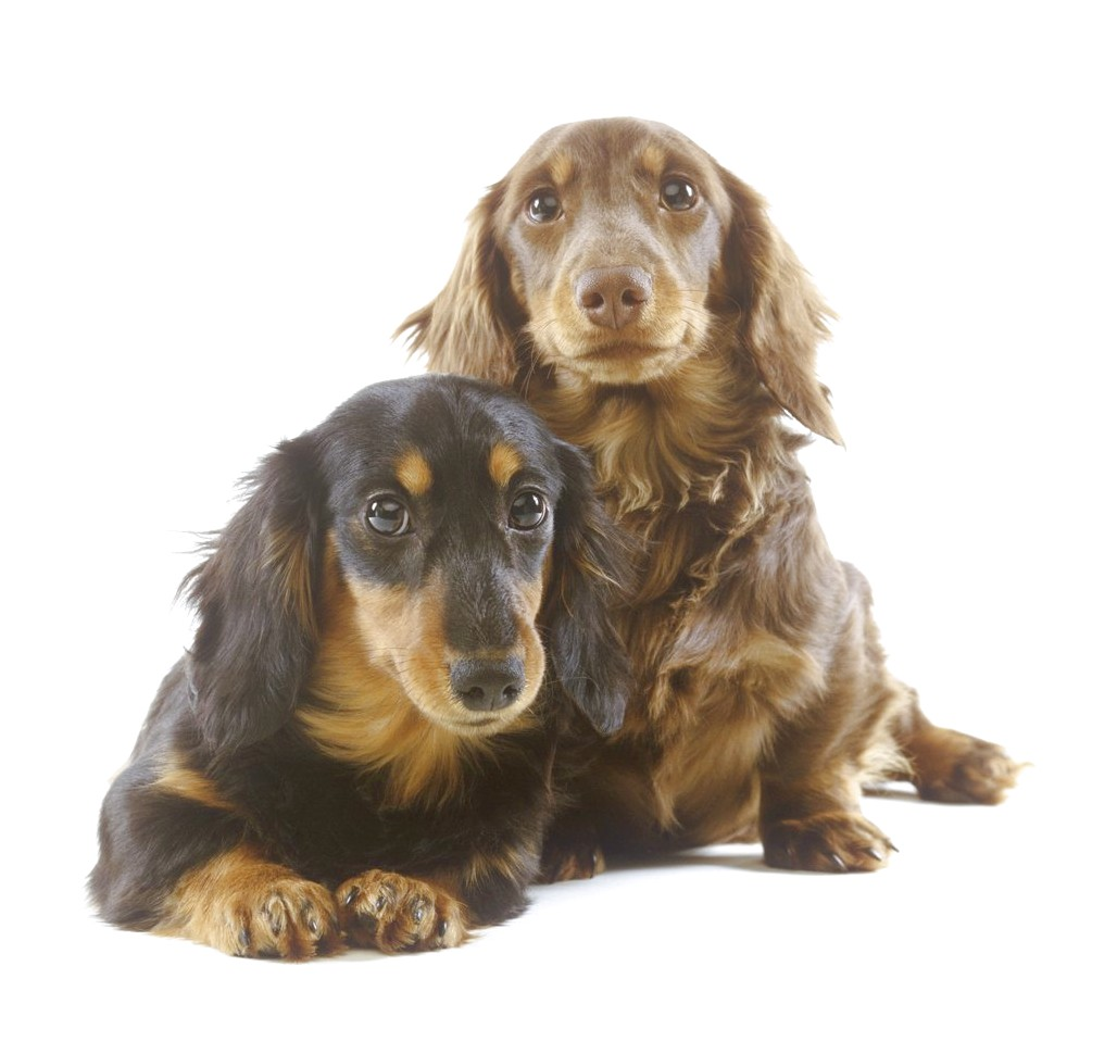 long haired dachshund puppies near me